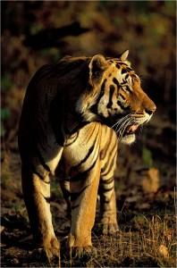 tiger shergarh